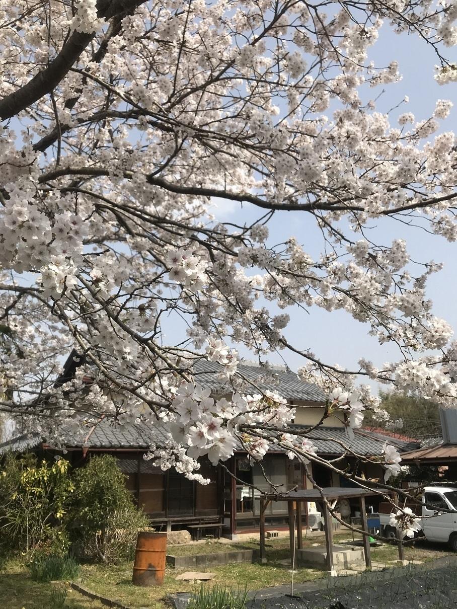 1804桑山邸さくら.JPG